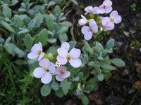 Арабис альпийский - Слабо-розовые цветы