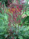 Астильба Burgundy red - Начало цветения. Конец июня.
