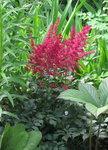 Астильба Burgundy red