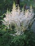 Астильба Weiss Gloria - Пышное цветение астильбы