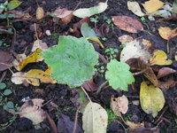 Астильбоидес пластинчатый - Двухлетний сеянец