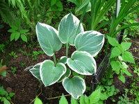 Хоста Barbara Ann - молодое  растение
