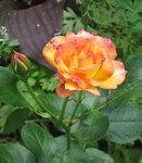 Розы Кордеса - Bonanze