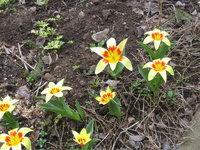 Тюльпаны ботанические - Тюльпан Кауфмана Corona