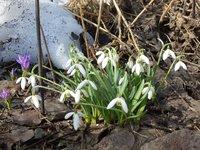 Подснежник  - начало марта