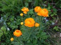 Купальница Orange Crest - конец мая