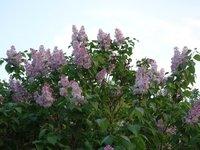 Сирень обыкновенная - до 3 метров высотой, простые цветы, очень душистая