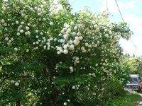 Калина обыкновенная Roseum - начало июня