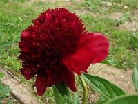 Пионы травянистые - Red Charm, цветы строгой формы.