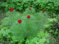Пионы травянистые - пион тонколистный, начало мая.