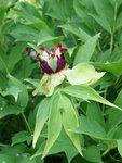 Древовидные пионы -  красивые плоды у Радужной капели