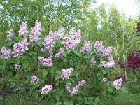 Сирень обыкновенная - Fantasy (Кларк) в начале цветения