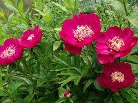 Пионы травянистые - Barrington Belle