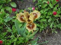 Ирис карликовый - Eye of Newt -Глаз тритона