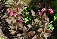 Вейгела цветущая Minor Black - начало июня