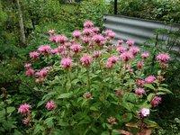 Монарда гибридная - Croftway Pink