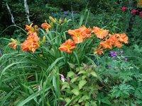 Лилейник - крупные цветы, Тускавилла Тигресс?