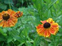 Гелениум осенний Sahin's Early Flowerer
