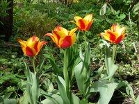 """Тюльпаны ботанические - тюльпан Грейга """"Kiev""""  невысокий, но цветок очень крупный"""
