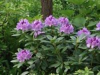 Рододендрои кэтевбинский Грандифлорум - начало июня