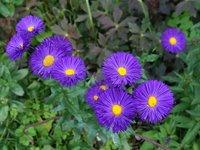 Мелколепестник красивый - Фиолетовый цветок - сорт Dominator