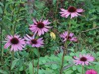 Эхинацея пурпурная - Ruby giant