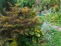Клен веерный Red Pygmy - октябрь