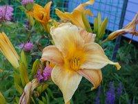 Лилейник - Apricot Beauty