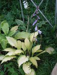 хоста Ledy Guinevere - первое цветение