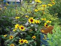 Гелиопсис подсолнечниковидный Summer Nigth