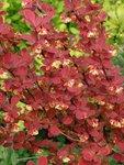 Барбарис Тунберга Red Rocket - цветение в мае