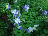 Аквилегия гибридная - серия Blue Star