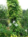Хмель обыкновенный Aurea - июль