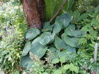 Хоста Sea Lotus Leaf
