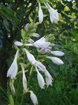 Хоста Honeybells - ароматные цветы
