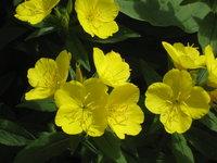 Энотера - Цветы энотеры