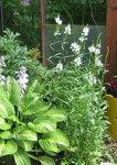 Физостегия виргинская - С белыми цветами