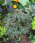 Герань луговая Black Beauty  - Август. Погрызанные листья.