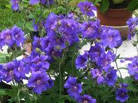Герань грузинская - Цветы