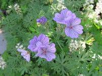 Герань клубненосная - цветы