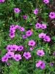 Герань гибридная Patricia - Цветы герани Патрисия