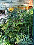 Герань красно-бурая Samobor - Скромное цветение
