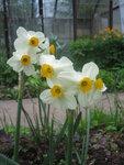 Нарцисс - Geranium