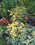 Гейхера Green Spice - Цветет в июне