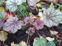 Гейхера Venus - Осенняя окраска