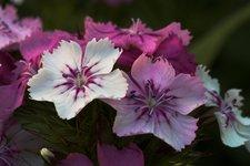 Гвоздика турецкая - Цветы турецкой гвоздики