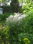 Гипсофила метельчатая - Июльское цветение