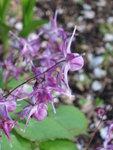 Горянка крупноцветковая Lilafee - Цветы горянки