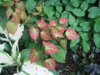 Горянка красная - молодые листья