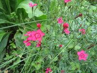 Гвоздика-травянка - Цветы травянки